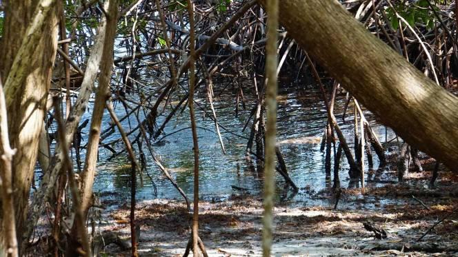 mangrove-trail