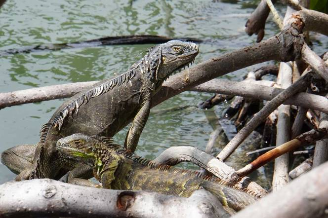 two-lizards